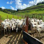 Quanto custa uma novilha no mercado pecuário?