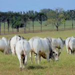 Vale a pena ter um touro nelore na propriedade?