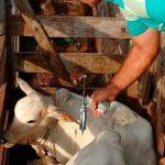 Vacina de manqueira é obrigatória para bovinos?