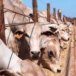 Confinamento de gado de corte: como aumentar o lucro