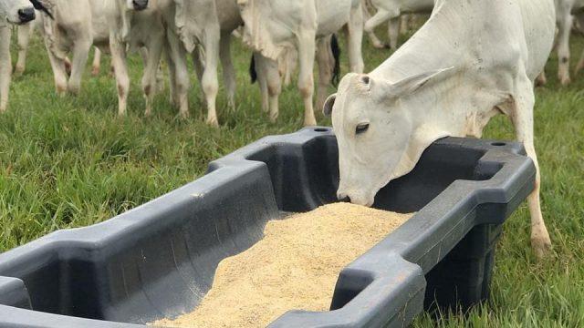 Cocho de sal: como aumentar o peso do gado